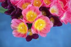 Fiore rosa dei tulipani su fondo blu una cartolina d'auguri Fotografia Stock