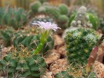 Fiore rosa del cactus del fiore Fotografia Stock Libera da Diritti