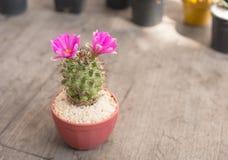 Fiore rosa del cactus del primo piano su di legno Fotografia Stock Libera da Diritti