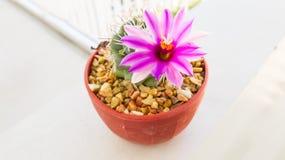Fiore rosa del cactus della fioritura sulla parete bianca Fotografia Stock