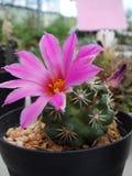 Fiore rosa del cactus in piena fioritura fotografie stock