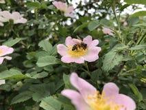 Fiore rosa del cinorrodo con un'ape dentro immagini stock libere da diritti