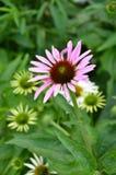 Fiore rosa del cono dell'echinacea Immagini Stock Libere da Diritti