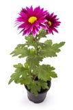 Fiore rosa del crisantemo Fotografie Stock