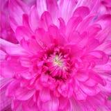 Fiore rosa del crisantemo Fotografia Stock Libera da Diritti