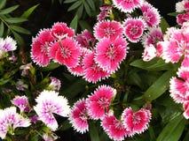 Fiore rosa del dianthus Immagini Stock
