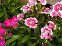 Fiore rosa del dianthus Fotografie Stock Libere da Diritti