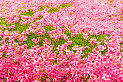 Fiore rosa del fiore dell'azalea in un parco Immagini Stock