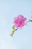 Fiore rosa del fiore di ciliegia Fotografie Stock