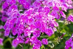 Fiore rosa del flox - genere di fioritura erbaceo Immagine Stock
