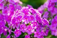 Fiore rosa del flox - genere di fioritura erbaceo Fotografia Stock