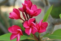 Fiore rosa del frangipane sull'albero Immagini Stock