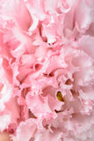 Fiore rosa del garofano Fotografia Stock Libera da Diritti
