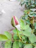 Fiore rosa del germoglio Immagine Stock Libera da Diritti