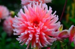 Fiore rosa del giardino in Nuova Zelanda Immagine Stock