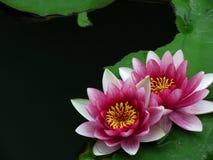 Fiore rosa del giglio Fotografie Stock Libere da Diritti