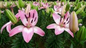 Fiore rosa del giglio con il germoglio Immagine Stock