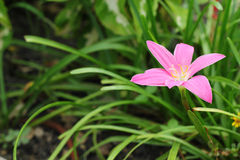 Fiore rosa del giglio di zephyranthes nel giardino Fotografie Stock Libere da Diritti