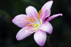 Fiore rosa del giglio nell'oscurità Fotografia Stock