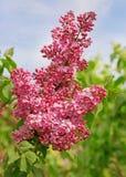 Fiore rosa del lillà Fotografia Stock
