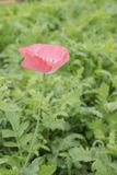 Fiore rosa del papavero Fotografia Stock