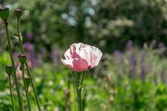 Fiore rosa del papavero e teste del papavero sparate contro il sole immagine stock libera da diritti