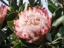 Fiore rosa del protea di re gigante Fotografia Stock