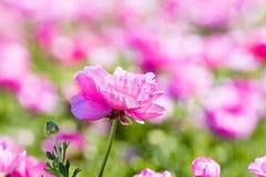 Fiore rosa del ranunculus Fotografia Stock Libera da Diritti