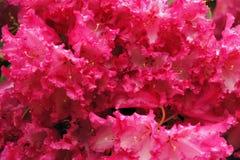 Fiore rosa del rododendro Fotografie Stock Libere da Diritti