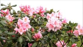 Fiore rosa del rododendro stock footage
