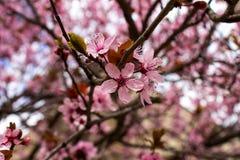 Fiore rosa del susino della primavera Immagini Stock