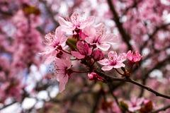 Fiore rosa del susino della primavera Fotografie Stock Libere da Diritti