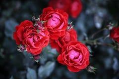 Fiore rosa del tè rosso Fotografie Stock