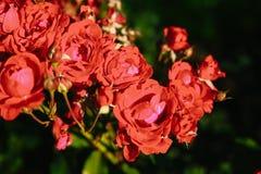Fiore rosa del tè rosso Immagine Stock Libera da Diritti