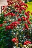 Fiore rosa del tè rosso Fotografia Stock