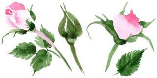 Fiore rosa del tè del Wildflower in uno stile dell'acquerello isolato Immagine Stock Libera da Diritti