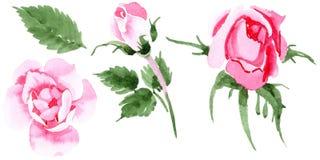 Fiore rosa del tè del Wildflower in uno stile dell'acquerello isolato Fotografia Stock Libera da Diritti