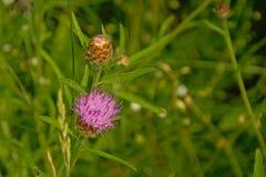 Fiore rosa del trifoglio in alta erba verde, primo piano Immagini Stock