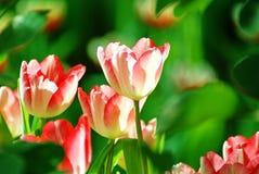 Fiore rosa del tulipano al sole Immagine Stock