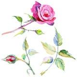 Fiore rosa del Wildflower in uno stile dell'acquerello isolato Immagini Stock