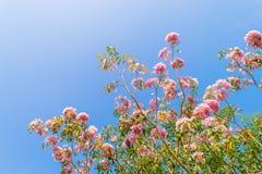 Fiore rosa dell'albero di tromba Immagini Stock Libere da Diritti