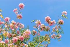 Fiore rosa dell'albero di tromba Immagini Stock