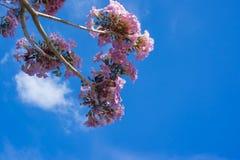 Fiore rosa dell'albero di tromba Fotografia Stock