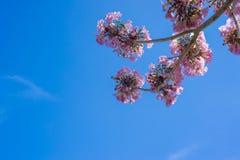 Fiore rosa dell'albero di tromba Immagine Stock