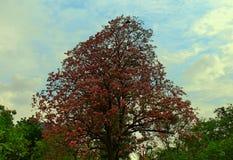 Fiore rosa dell'albero di tromba Immagine Stock Libera da Diritti