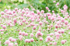 Fiore rosa dell'amaranto di globo Fotografia Stock