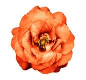 Fiore rosa dell'arancia scura surreale del cromo isolato fotografia stock libera da diritti