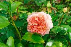 Fiore rosa dell'arancia in un giardino Immagine Stock