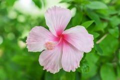 Fiore rosa dell'ibisco Fotografia Stock Libera da Diritti