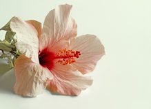 Fiore rosa dell'ibisco Immagini Stock